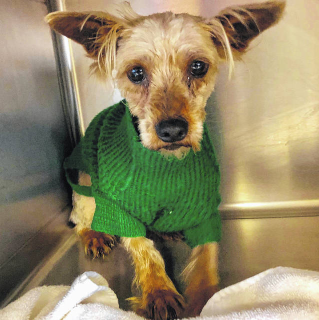Buttercup, a 5-year-old Yorkie, is available for adoption at the Champaign County Animal Welfare League.