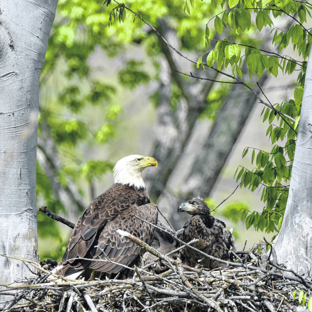 Bald eagles are nest at the Magee Marsh Wildlife Area near Toledo.