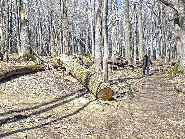 This photo shows dead ash trees that fell near a trail at the Glen Helen Nature Preserve in Yellow Springs.
