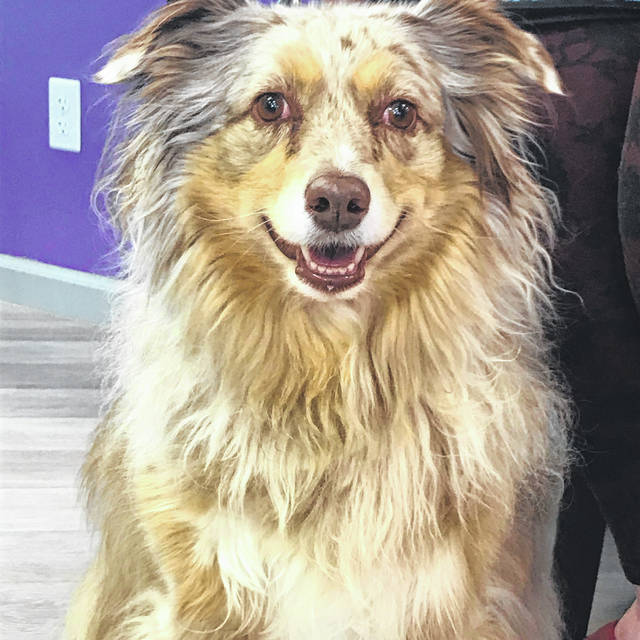 Sage, 7, is a Mini Aussie and she's ready for adoption at the Champaign County Animal Welfare League.