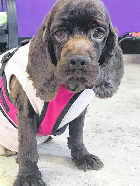 Fudge, a 5-year-old female Cocker Spaniel, is waiting at the Champaign County Animal Welfare League for someone to offer her a new life.
