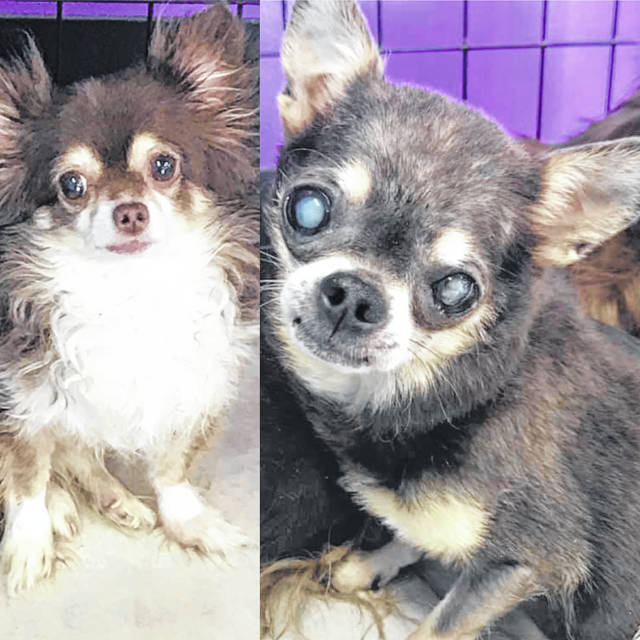 Bean and Half Pint arrived at the Champaign County Animal Welfare League together and love to be with each other, so the goal is to adopt them to the same household.