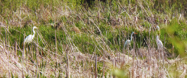 Several egrets are shown gathered in a marshy area of southeastern Champaign County. Urbana's Emma Landolfo took their photo before they took flight. Egrets are herons with white plumage that is lighter during breeding season. They are generally spotted in North American wetland areas and are long-legged wading birds.