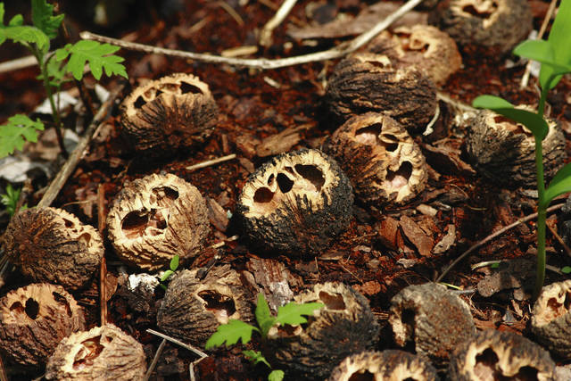 A collection of emptied nutshells is shown discarded at the base of a tree in Cedar Bog.