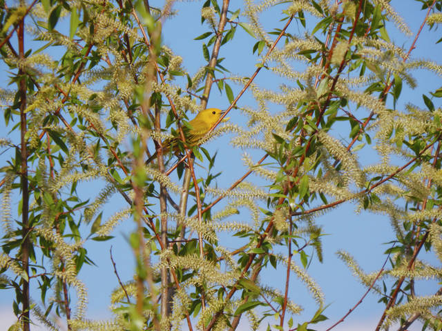 This yellow warbler was captured by budding local photographer Emma Landolfo of Urbana. She spotted the bird in southeastern Champaign County.
