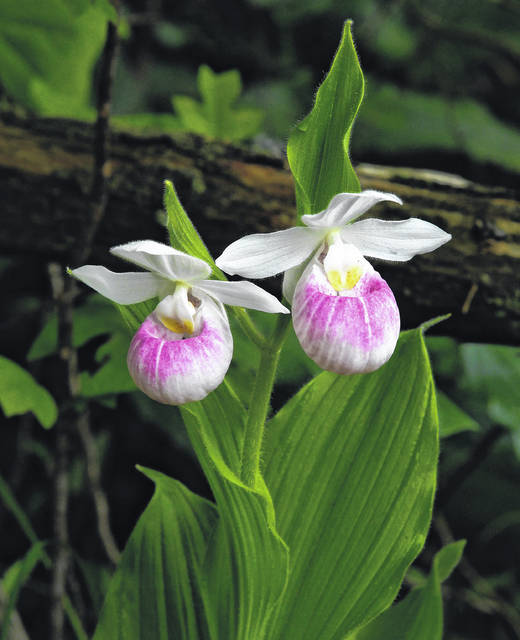 Cedar Bog volunteer naturalists will lead visitors through the fen just in time to see the Showy Lady's-Slipper Orchids (Cypripedium reginae), the largest lady's-slipper orchids in North America. The tours are on Sunday, June 2, at 2 p.m. and Saturday, June 8, at 10 a.m. The cost for the tour is $5 per person. No charge for Cedar Bog Assn. and Ohio History Connection members. Call 937-484-3744 for more info. The Cedar Bog Nature Preserve is located at 980 Woodburn Road, just south of Urbana.