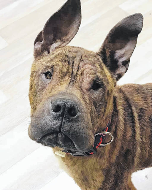 Ace is a 3-year-old Shar Pei Mix now living at the Champaign County Animal Welfare League and ready for a forever home.