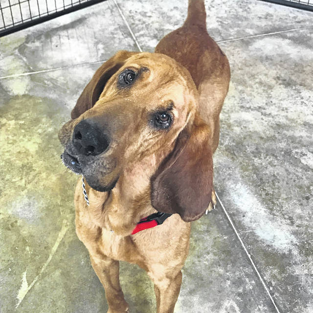 Governor is a 4-year-old bloodhound waiting for friendly folks to adopt him from the Champaign County Animal Welfare League.