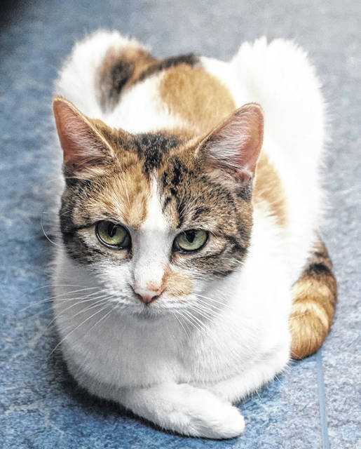 Kiwi is a sweet 2-year-old female feline waiting to be adopted at PAWS Animal Shelter.