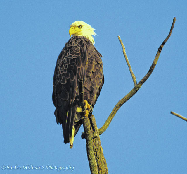 Amber Hillman of Urbana spotted this bald eagle on Millerstown-Eris Road on Monday evening. Bald eagles, the national emblem of the United States, have been seen in trees along Mad River and in the area of Nettle Creek this spring and summer. The numbers of bald eagles nationwide declined by the early 1970s, but populations have made robust recoveries in some areas of the U.S. They are still a relatively uncommon bird in Champaign County, but reported sightings have occurred along Ludlow Road and in the area of Mad River during the past few years.