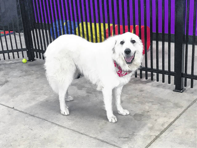 Trixie, a gentle barking Great Pyrenees, is available for adoption at the Champaign County Animal Welfare League.