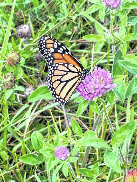 To create monarch habitat, Ohio plans to add millions of milkweed and nectar plants by 2035. In photo, this monarch was photographed on a nectar plant in nearby Logan County. Monarchs have several life stages, including one as a caterpillar.