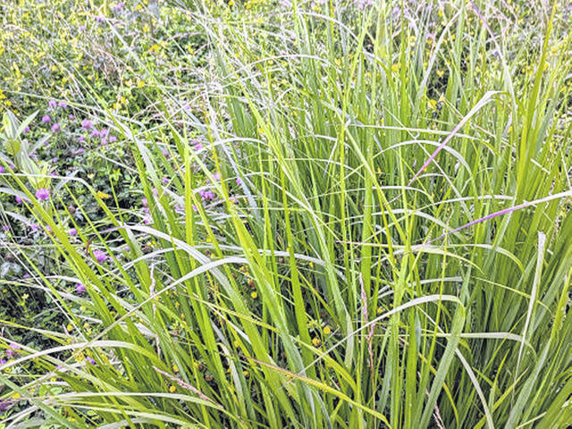 Switchgrass and Indiangrass, both prairie grasses, can survive flooded conditions and even drought.