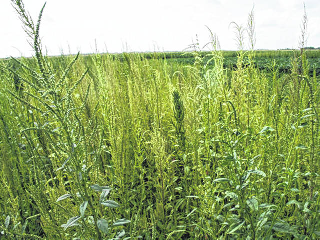 Waterhemp is spreading quickly across Ohio.