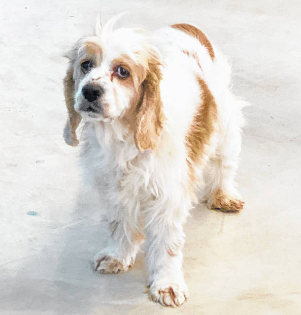 Sweet Spice, about 8 years old, is ready for adoption at the Champaign County Animal Welfare League.