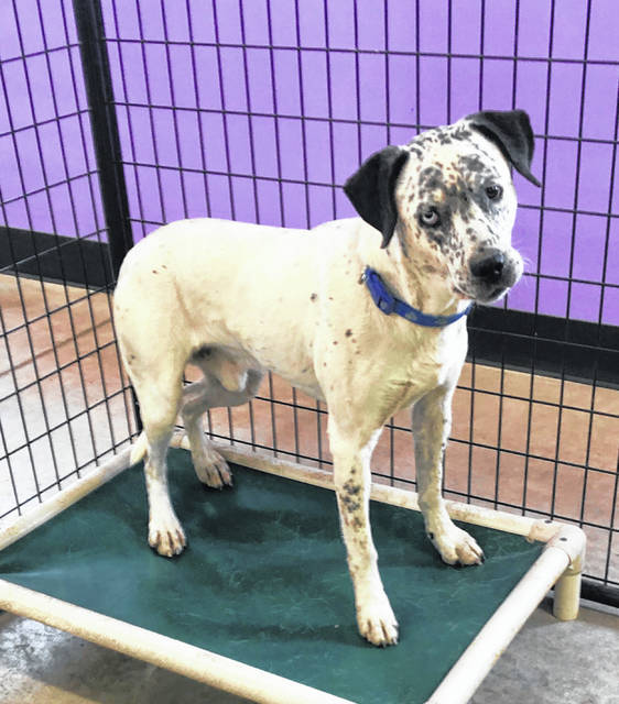 Hendrix, a 2-year-old deaf male, is at the Champaign County Animal Welfare League seeking a new home. Hunter gets along with her fellow cats and just may bond with you, too. Check her out at PAWS Animal Shelter.