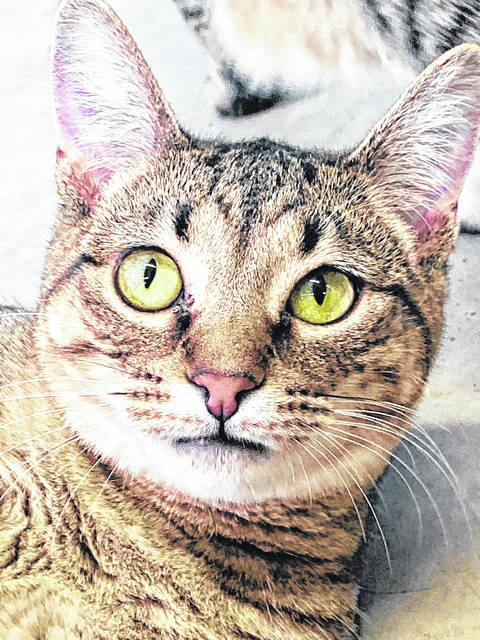Seven-month-old Mabel is one of several kittens available for adoption at the Champaign County Animal Welfare League.