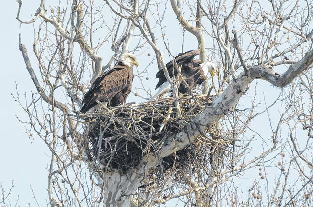 The ODNR Division of Wildlife seeks the help of citizen scientists to report sightings of eagle nests.