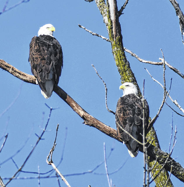 Carmen Ober of Cable snapped this photo of two Bald Eagles in northeast Champaign County on Dec. 22, 2019. Formerly on state and federal Endangered Species lists, this national symbol was assisted in its survival by efforts of landowners, zoos, the Ohio Department of Natural Resources and others, according to the ODNR website. While only four nests in Ohio were reported in 1979, 286 were reported in 2018. The bird was removed from the federal Endangered Species list in 2007 and from the state list in 2012. It is illegal to kill Bald Eagles and to disturb the birds or their nests.