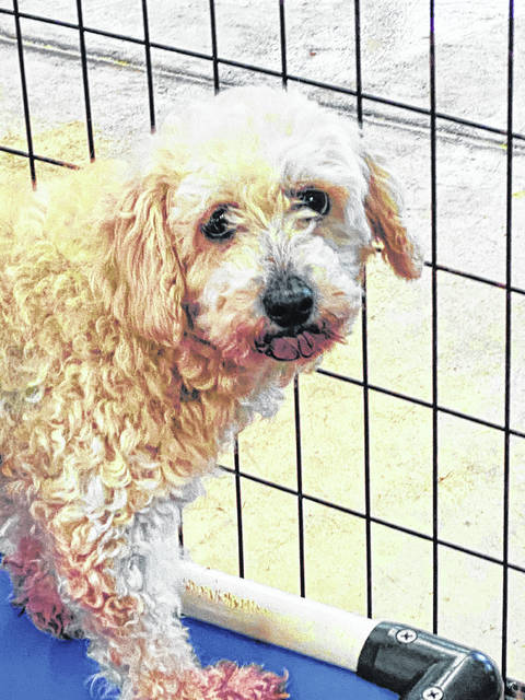 A former breeder, Roma now is at the Champaign County Animal Welfare League, which seeks a patient person to adopt her and help her trust people.