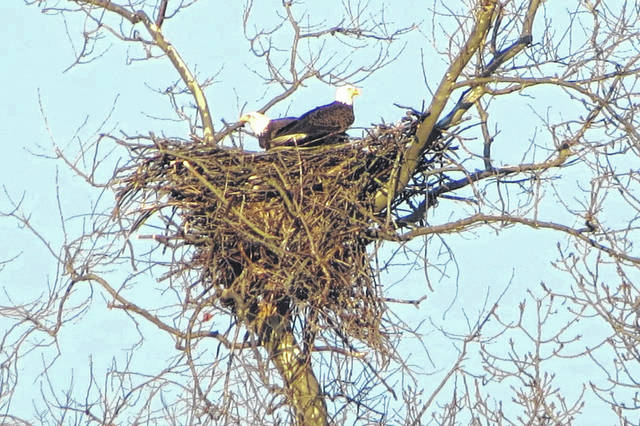 A pair of nesting bald eagles was captured in this photograph from northwest Champaign County this week. For the first time in eight years, the Ohio Department of Natural Resources' Division of Wildlife is attempting to find every bald eagle nest in the Buckeye State and is asking citizen scientists to report their sightings of the national bird. Citizen scientists can submit sightings at wildohio.gov/reportwildlife from Saturday, Feb. 1, to Tuesday, March 31. Watch for updates of verified nests throughout the coming months at wildohio.gov.