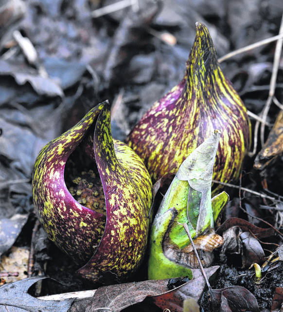 "The first ""spring"" flower to bloom in Ohio is the Skunk Cabbage, and Cedar Bog visitors can see this early sign of spring on Feb. 23."