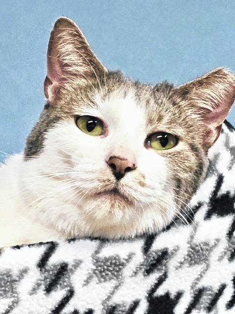 Milo is a 3-year-old male feline available for adoption at PAWS Animal Shelter.