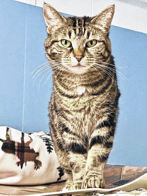 Trish, age 6, is shy and sweet and ready for adoption at PAWS Animal Shelter.