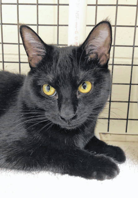 Sweet Ebony is a 9-month-old female feline up for adoption at PAWS Animal Shelter.