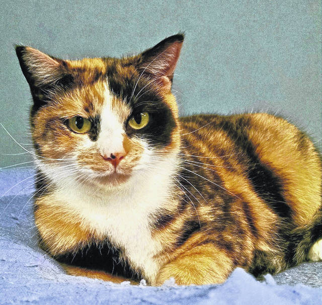 Evelyn, age 5, is a friendly feline available for adoption at PAWS Animal Shelter.