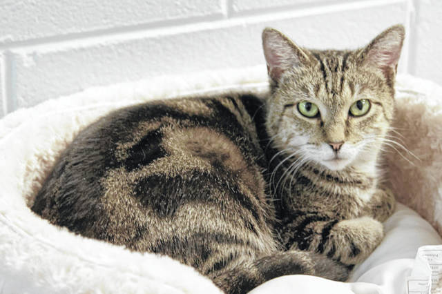 Rey is a one-year-old female feline who wants to be in a one-cat home. If interested, contact PAWS Animal Shelter.