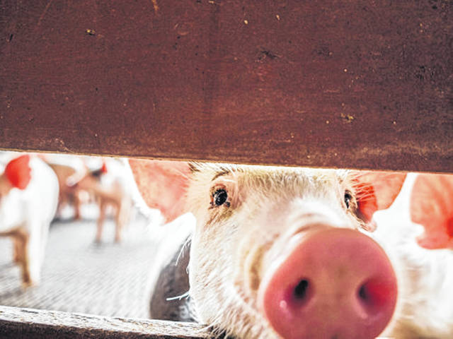 In the meat industry, COVID-19 has led to a logjam. Though livestock raised on the farm is ready for market, many meat processors are unable to accept it, at least not at the same pace they had been before the coronavirus arrived in the United States.