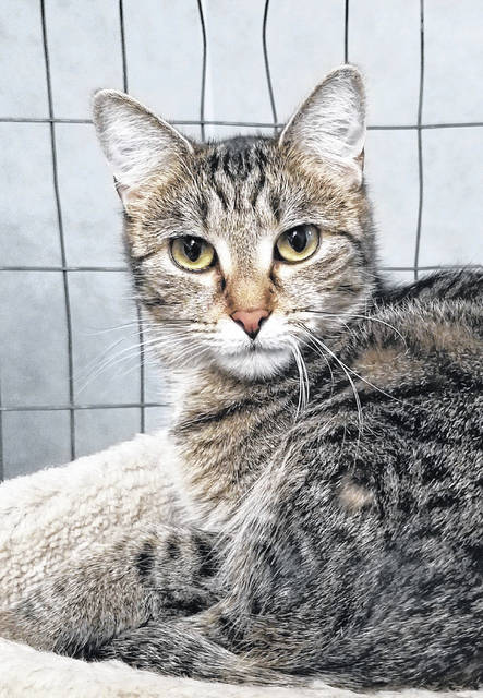 Fun-loving, female feline Chaz is available for adoption at PAWS Animal Shelter