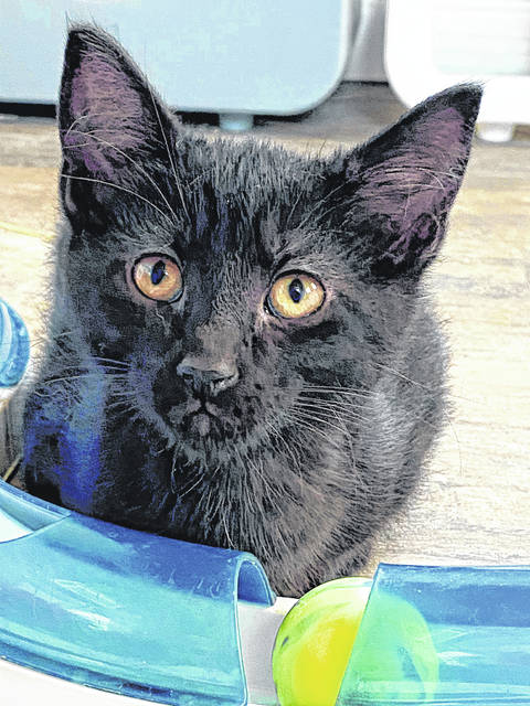 Basil is a male kitten available for adoption at the Champaign County Animal Welfare League.