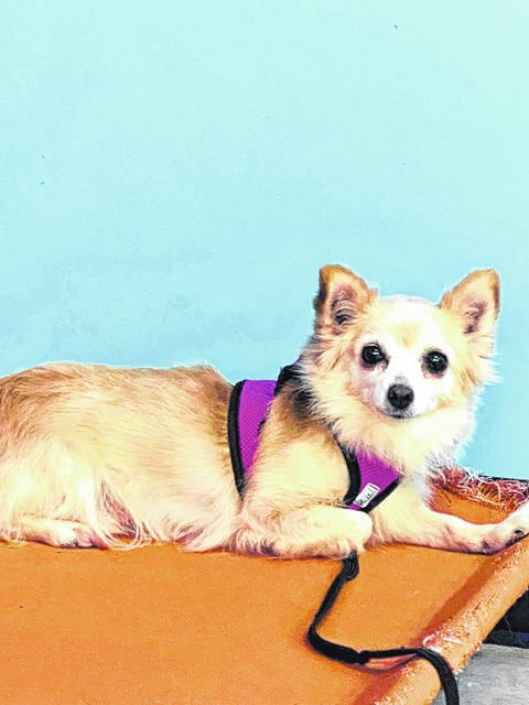 Pigwidgeon is a 6-year-old female pooch available for adoption at the Champaign County Animal Welfare League.