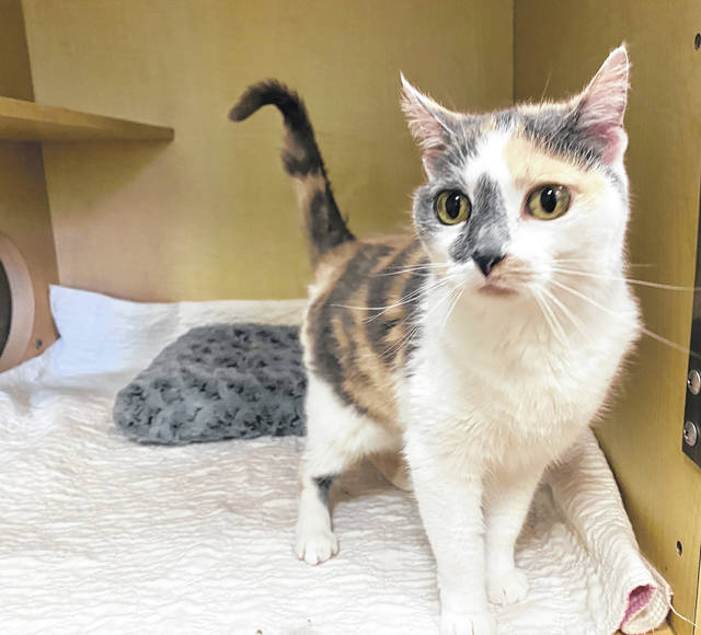Whiskers is a 10-year-old female feline up for adoption at the Champaign County Animal Welfare League.