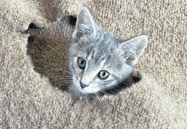 Dickson is an 8-week-old female feline ready for adoption at the Champaign County Animal Welfare League.
