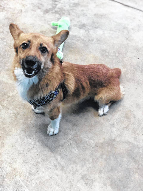 Howie is a sweet Corgi up for adoption at the Champaign County Animal Welfare League.