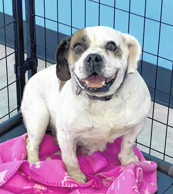 Dimples, age 5, waits for a family or person to adopt her from the Champaign County Animal Welfare League.