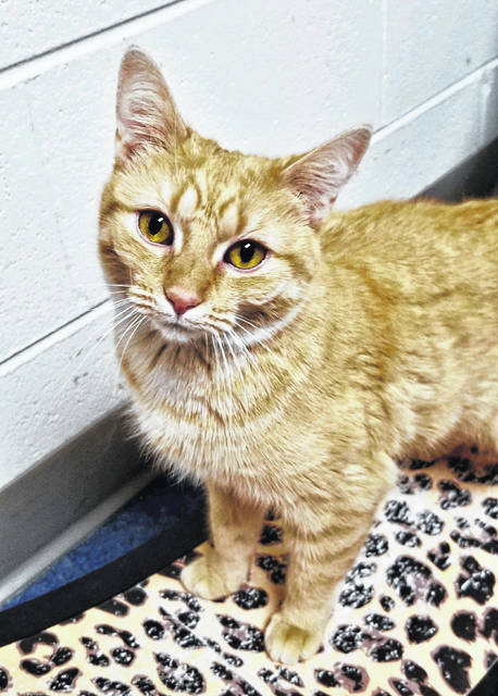 Olivia, age 2, likes people but demands PAWS Animal Shelter find her a home with no other cats.