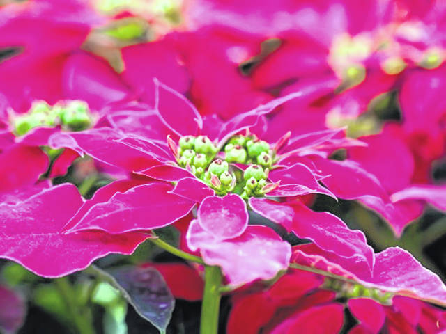Poinsettias can thrive beyond the holidays. Given the right care, poinsettias should last at least a couple of months, if not indefinitely.