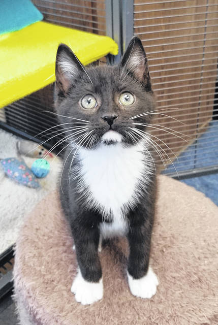 Pip is an 8-week-old male kitty ready for adoption at PAWS Animal Shelter.