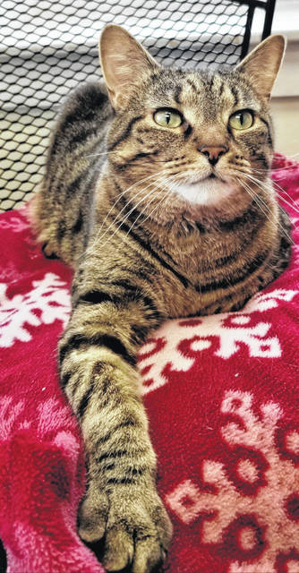 John Wayne, a friendly soul who is totally declawed and on a special diet, is up for adoption at PAWS Animal Shelter.