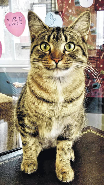 Kanga is an 8-month-old female feline ready for adoption at PAWS Animal Shelter.