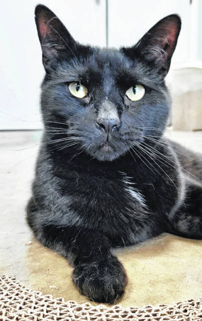 Denim is a sweet 2-year-old male cat up for adoption at PAWS Animal Shelter.