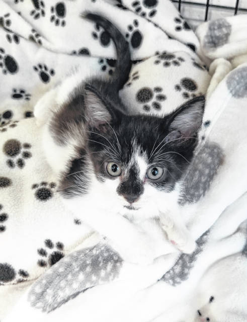Elsie is a 10-week-old black and white kitten that is looking for her fur-ever home.