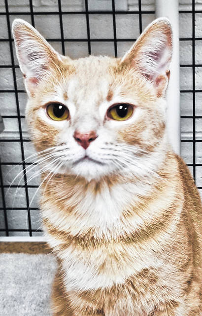 Simba is a one-year-old orange male tabby.