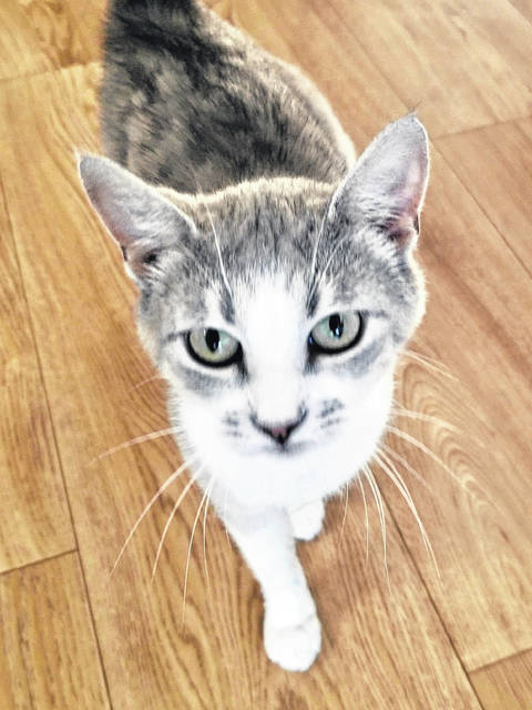 Ellery is a very petite 1-year-old gray and white spayed female.