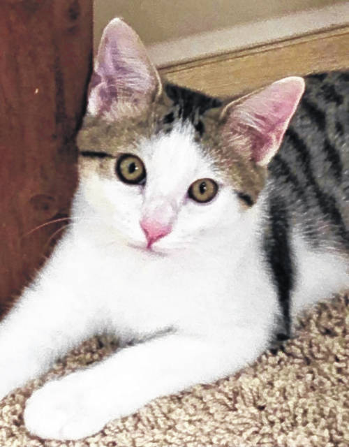 Memphis is a handsome five-month-old tiger kitten who would love to go home with one of his four siblings.