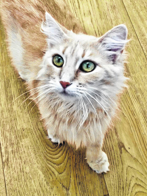 Dolly is a three-year-old female, long-haired buff beauty